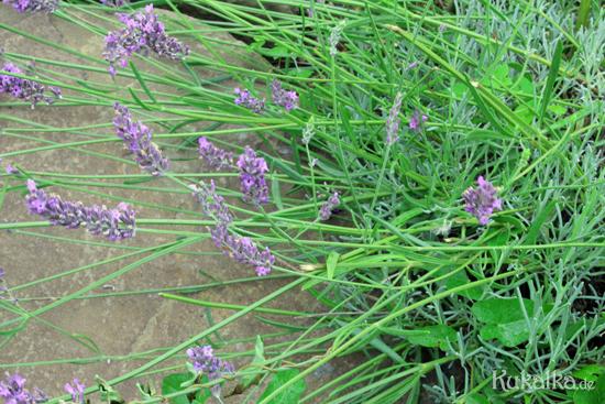 Lavendel trocknen